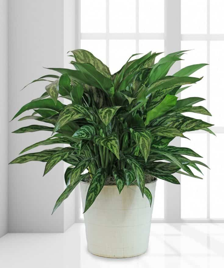 0116_chinese-evergreen-plant-shilpidea_4